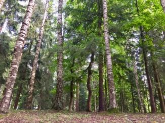 Silver Birch forest.