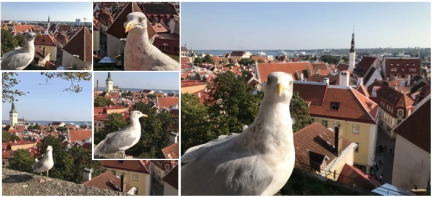 Pigeon photoshoot while I was trying to take a photo of the walled city of Tallinn