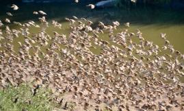 Birds swarming