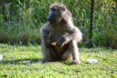 Lower Sabi, baboon