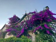 Beautiful Bougainvillaea