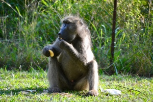 Kruger National Park Baboon