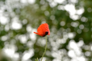 Poppy at The Somme