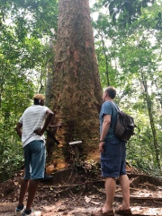 Giant trees in the Arboretum Raponda Walker, Libreville.