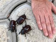 Scarab beetles.