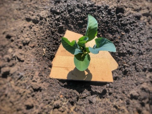 Cauliflower seedling in soil