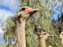Oudtshoorn ostrich farm